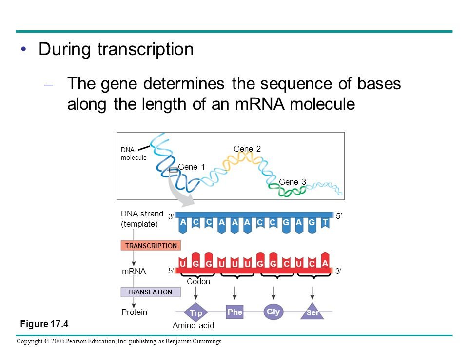 During transcription The gene determines the sequence of bases along the length of an mRNA molecule.