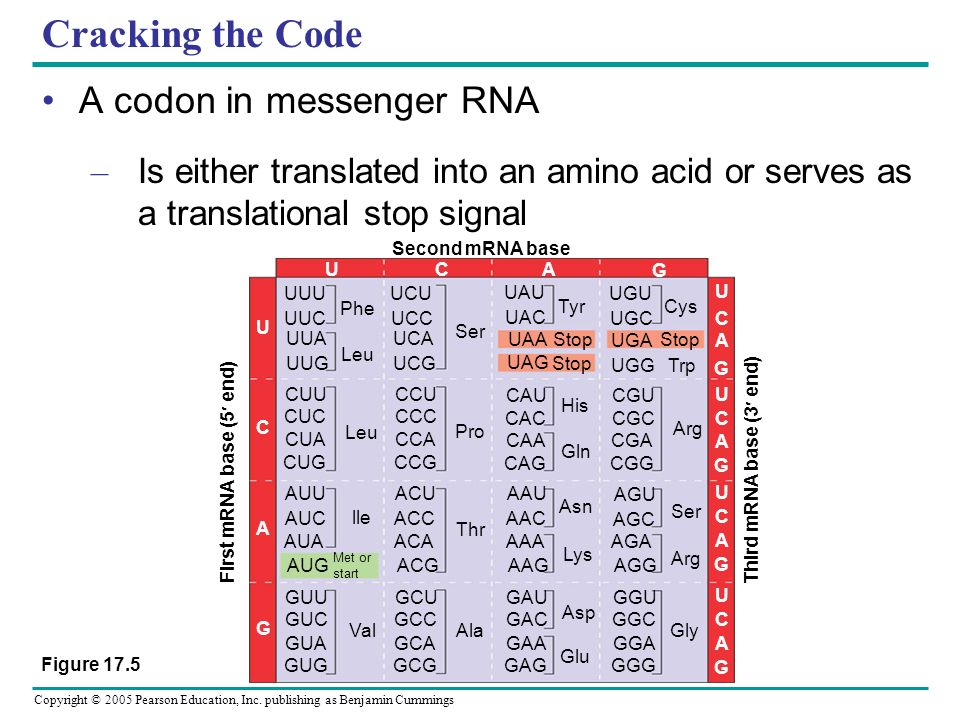 Cracking the Code A codon in messenger RNA