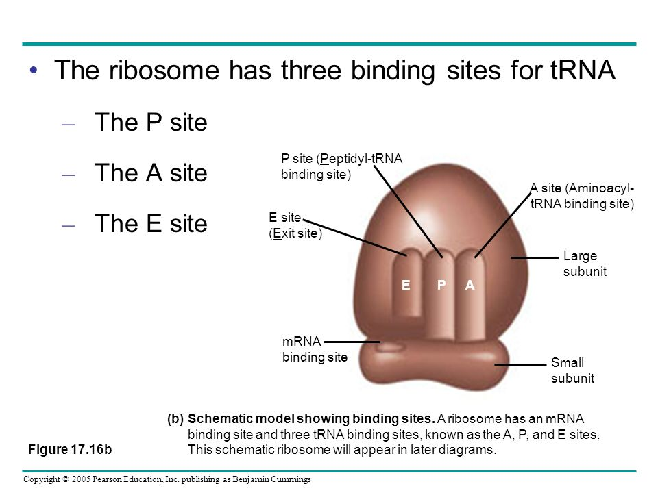 The ribosome has three binding sites for tRNA