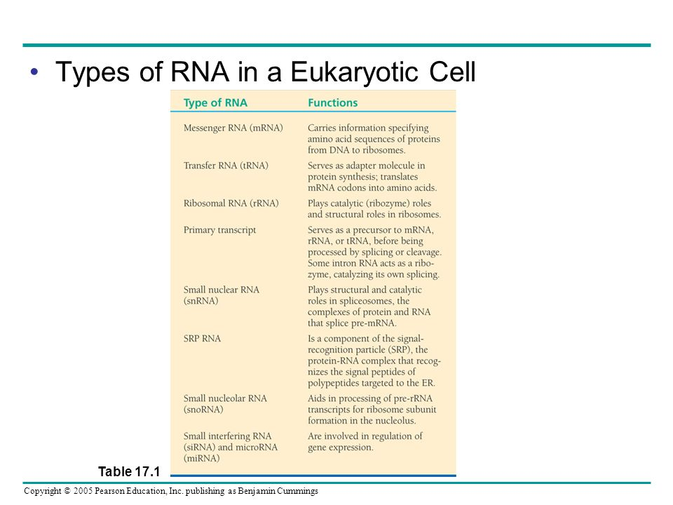 Types of RNA in a Eukaryotic Cell