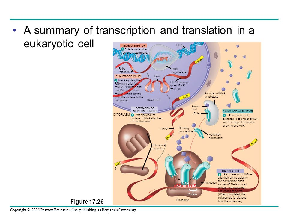 A summary of transcription and translation in a eukaryotic cell