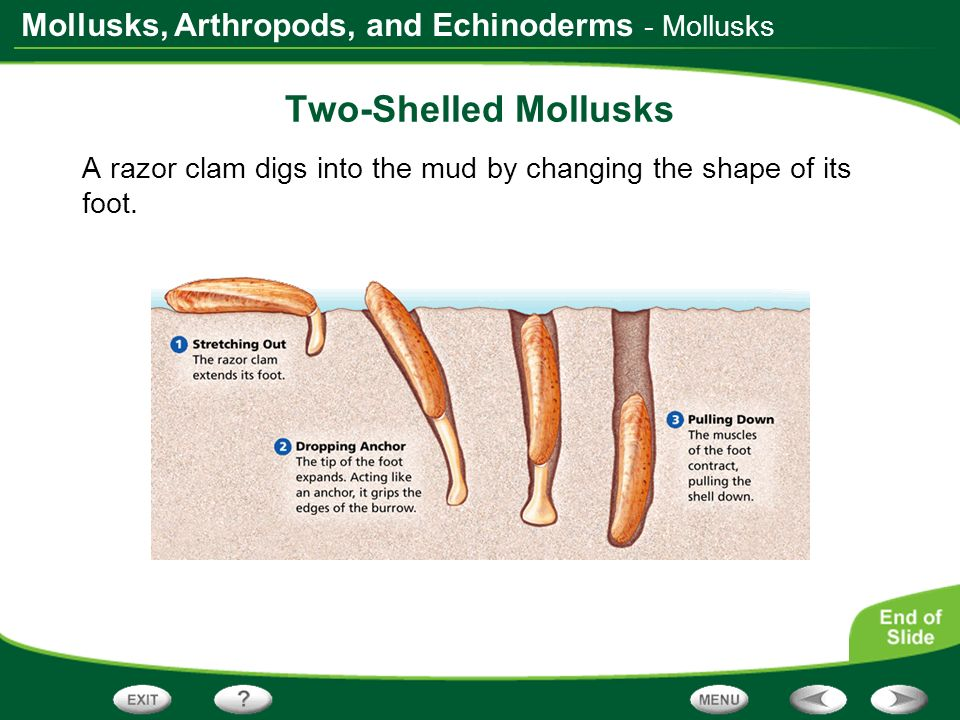 Two-Shelled Mollusks - Mollusks