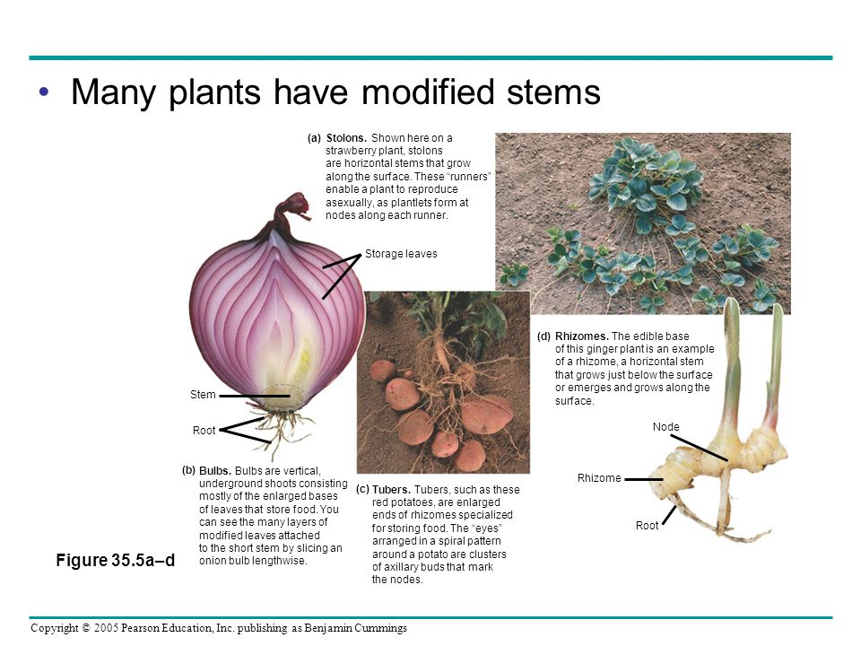 Many plants have modified stems