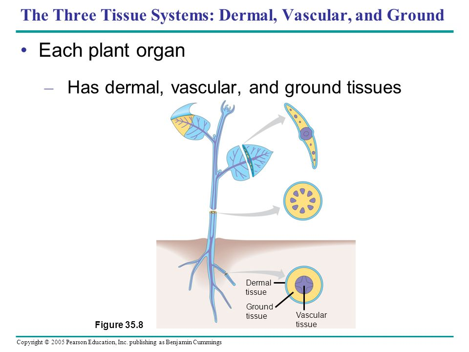 The Three Tissue Systems: Dermal, Vascular, and Ground