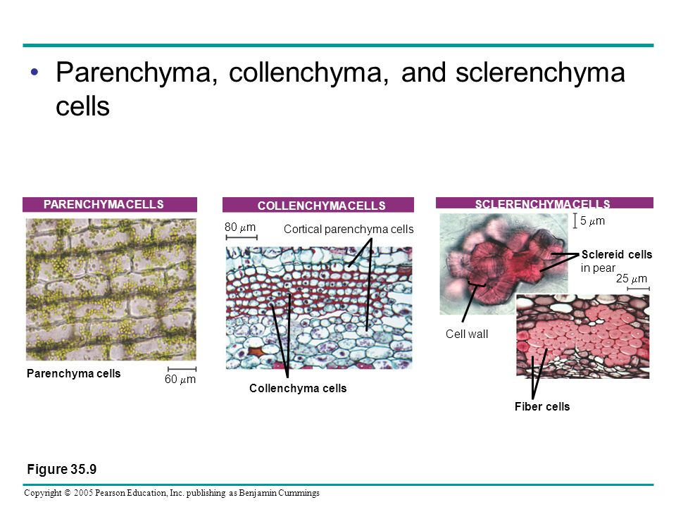 Cortical parenchyma cells