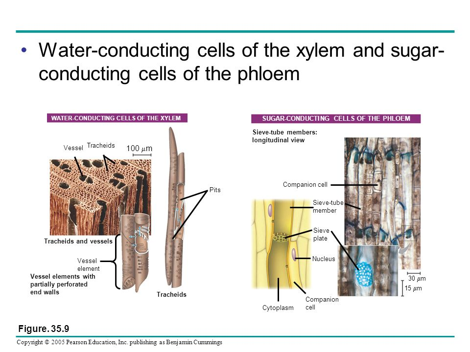 Water-conducting cells of the xylem and sugar-conducting cells of the phloem