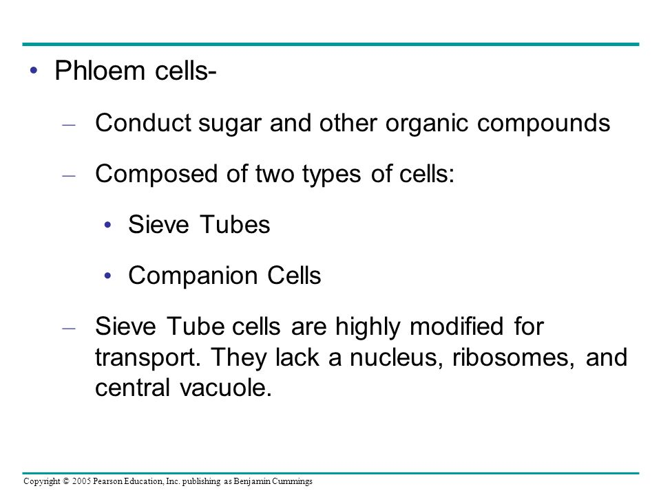 Phloem cells- Conduct sugar and other organic compounds