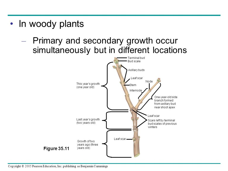 In woody plants Primary and secondary growth occur simultaneously but in different locations. Figure 35.11.