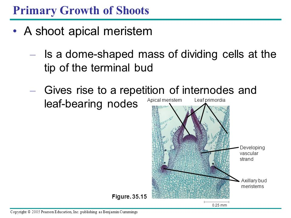 Primary Growth of Shoots