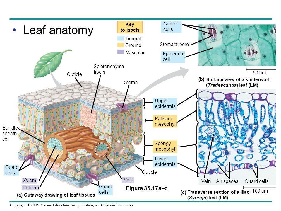 Cutaway drawing of leaf tissues