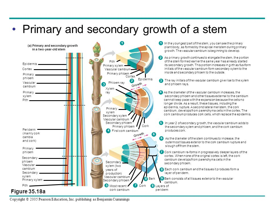 Primary and secondary growth of a stem
