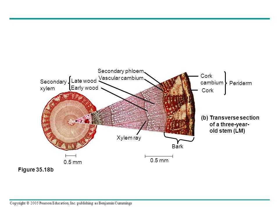 Secondary phloem Vascular cambium. Late wood. Early wood. Secondary. xylem. Cork. cambium. Periderm.