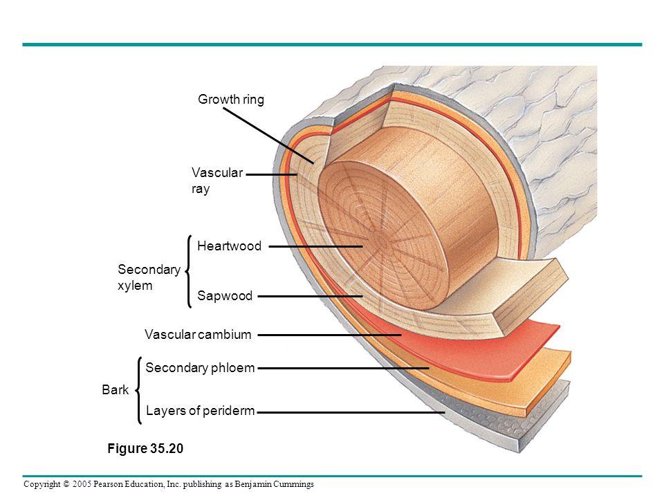 Growth ring Vascular. ray. Heartwood. Sapwood. Vascular cambium. Secondary phloem. Layers of periderm.