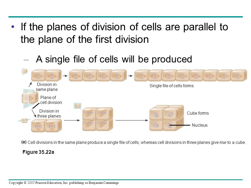 Single file of cells forms