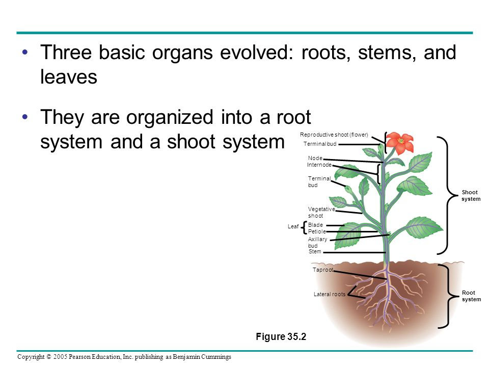 Reproductive shoot (flower)