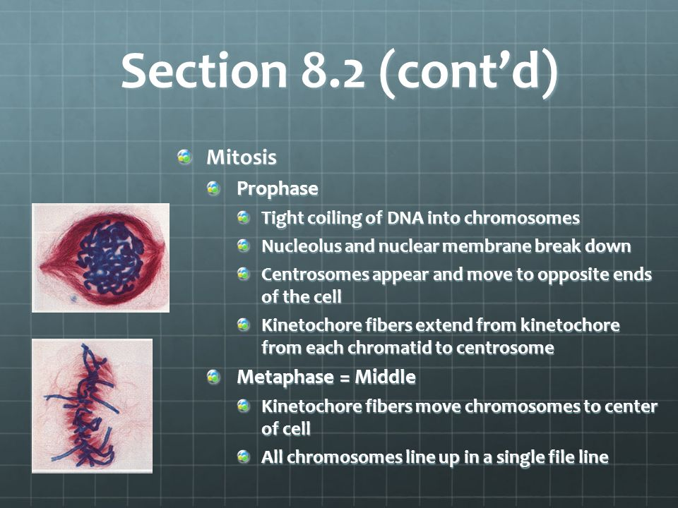 Section 8.2 (cont'd) Mitosis Prophase Metaphase = Middle