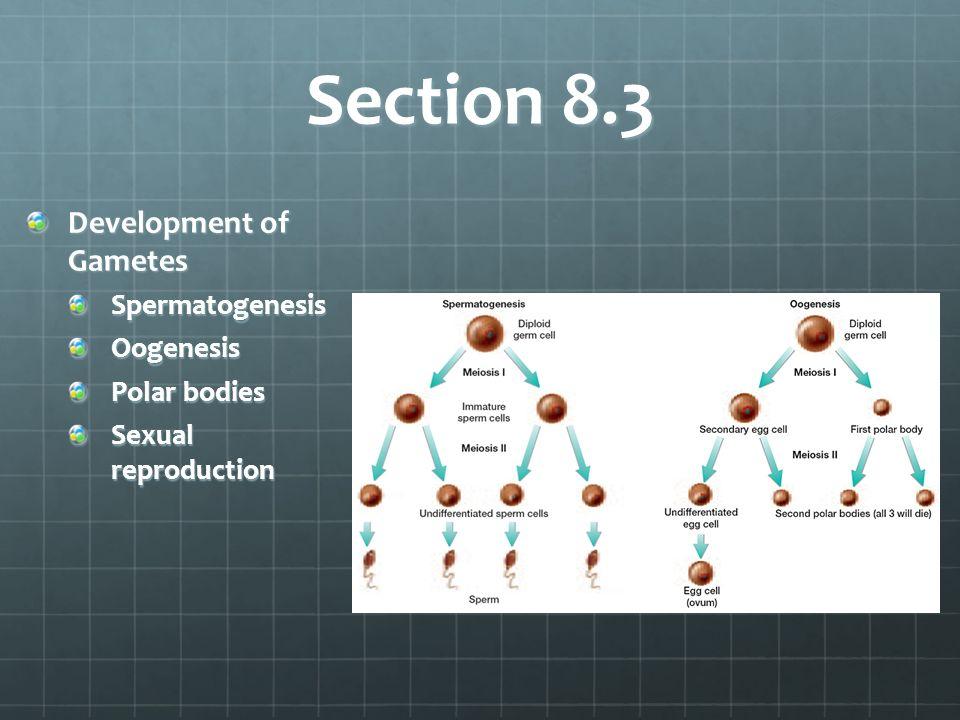 Section 8.3 Development of Gametes Spermatogenesis Oogenesis