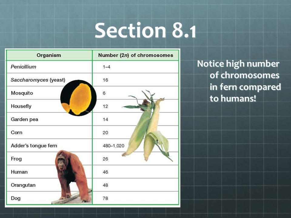 Section 8.1 Notice high number of chromosomes in fern compared to humans!
