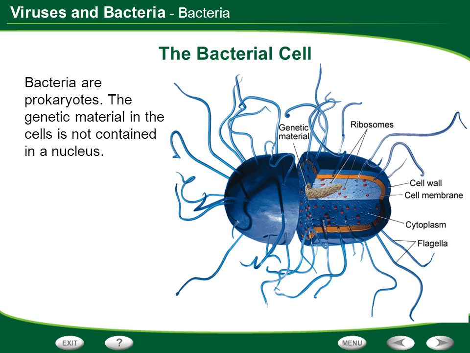 The Bacterial Cell - Bacteria