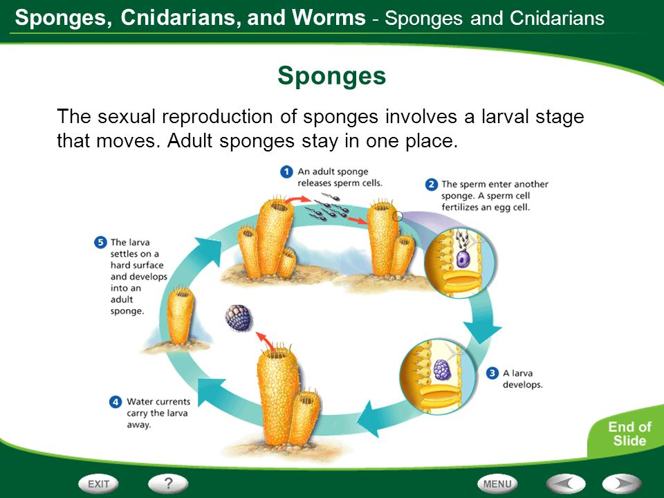 Sponges - Sponges and Cnidarians