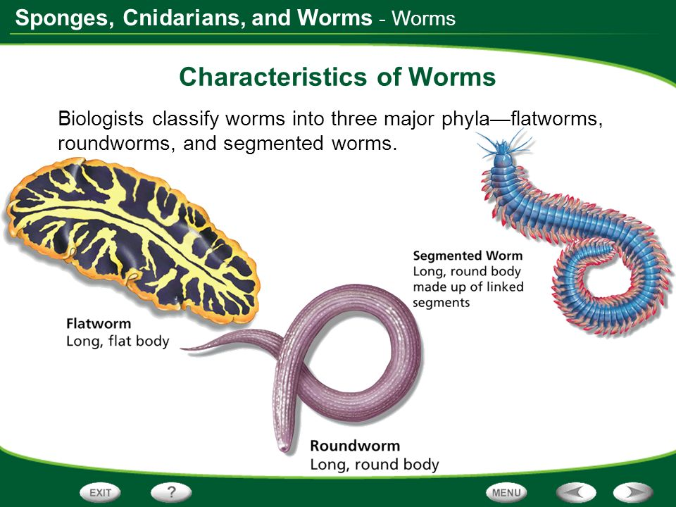 Characteristics of Worms