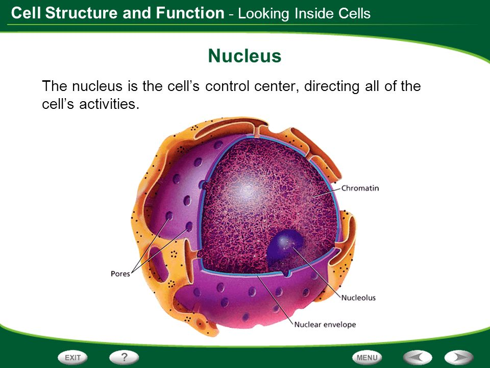 Nucleus - Looking Inside Cells