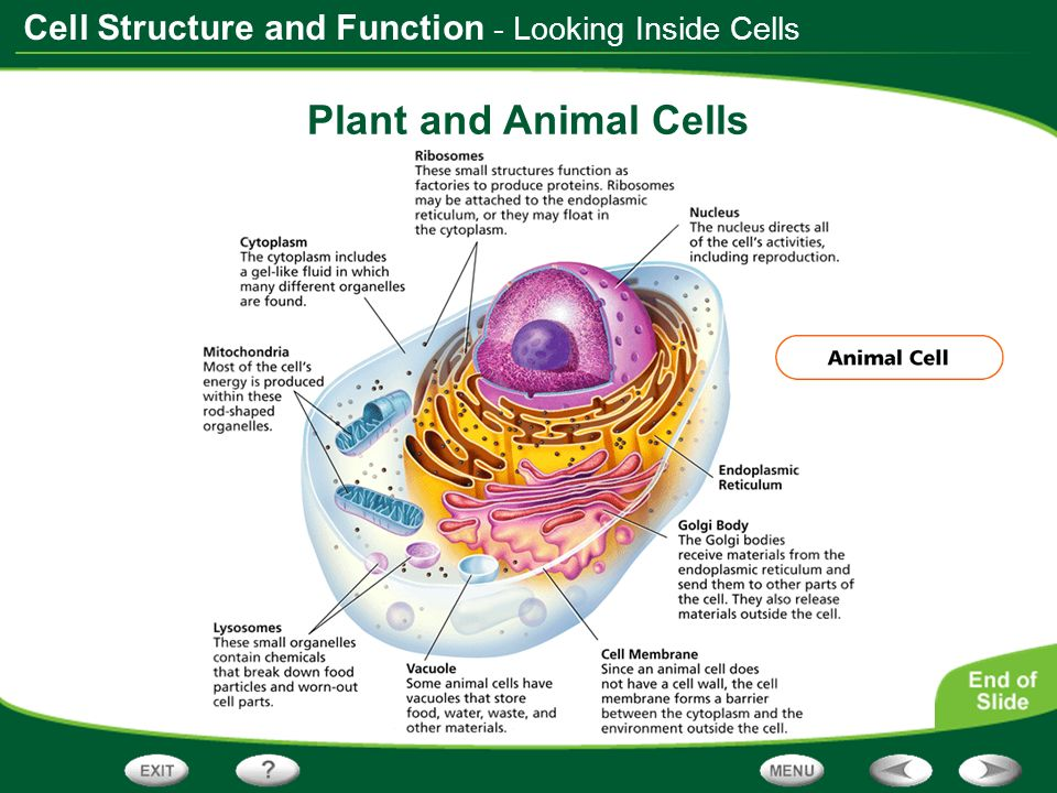 - Looking Inside Cells Plant and Animal Cells
