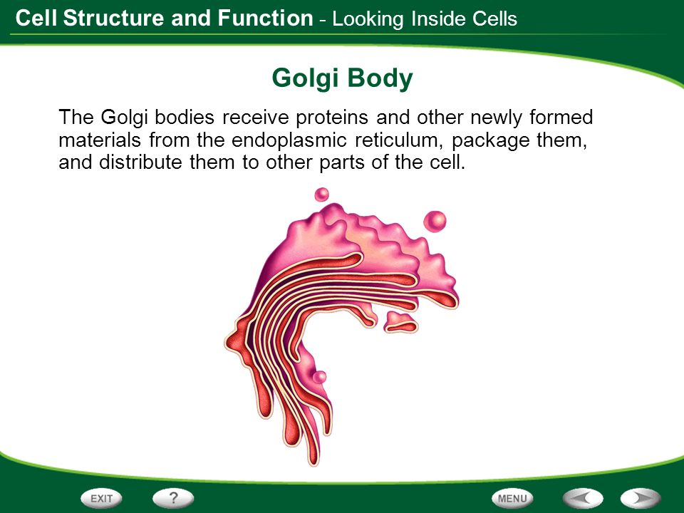 Golgi Body - Looking Inside Cells