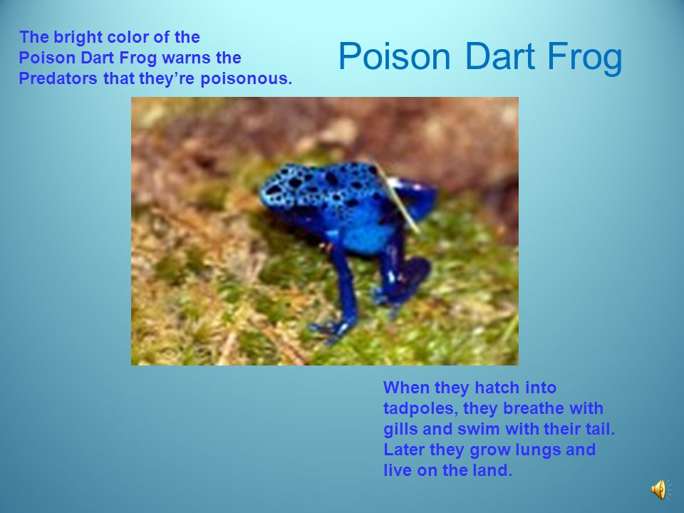 Poison Dart Frog The bright color of the Poison Dart Frog warns the