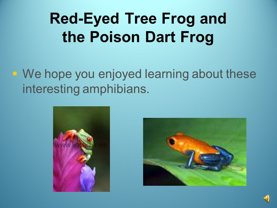 Red-Eyed Tree Frog and the Poison Dart Frog