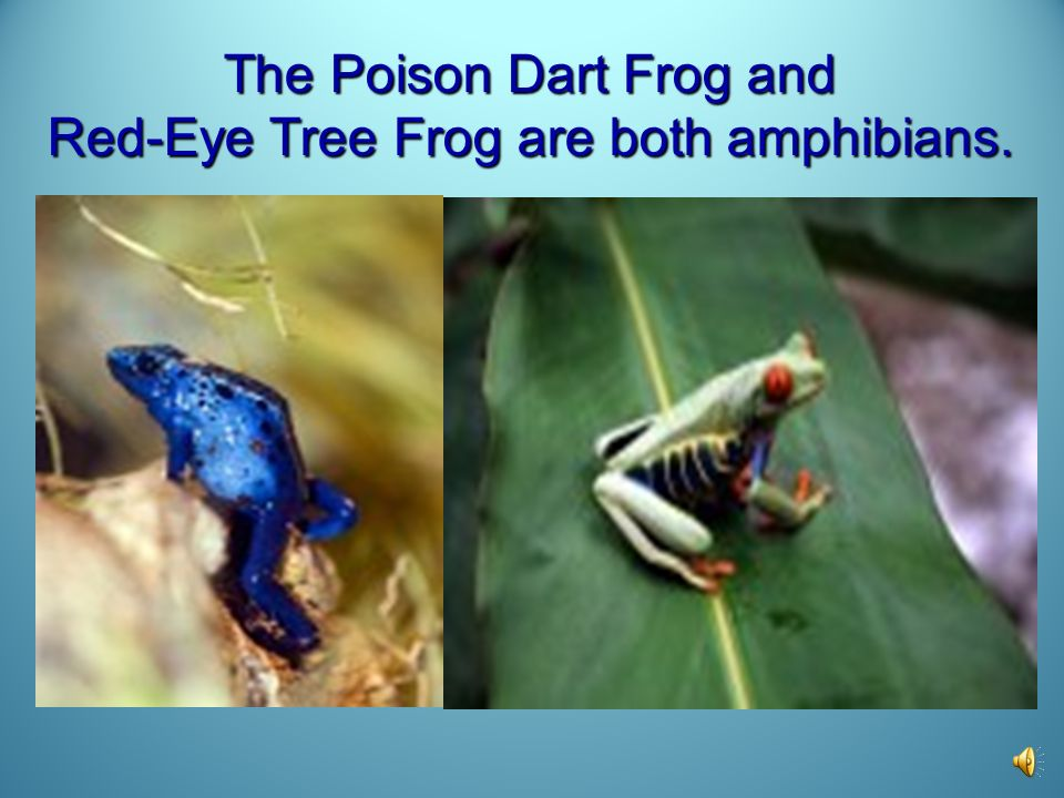 The Poison Dart Frog and Red-Eye Tree Frog are both amphibians.