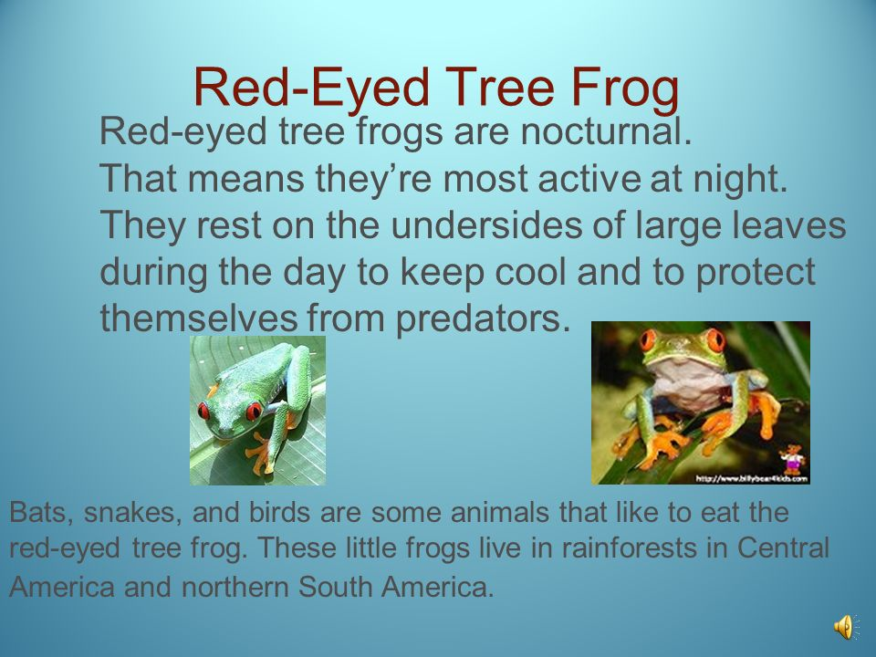 Red-Eyed Tree Frog Red-eyed tree frogs are nocturnal.
