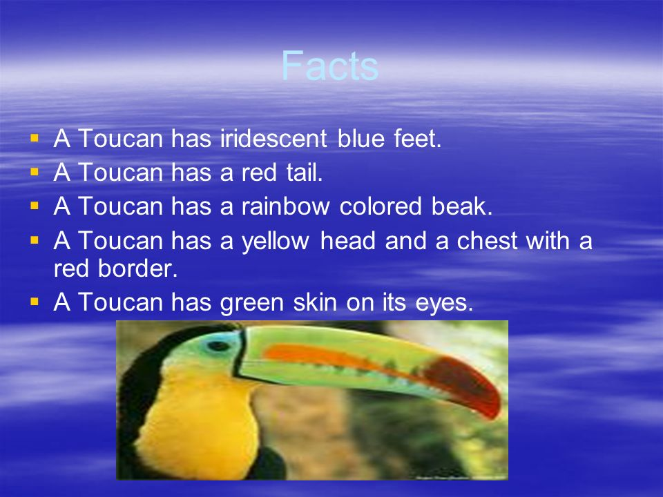 Facts A Toucan has iridescent blue feet. A Toucan has a red tail.