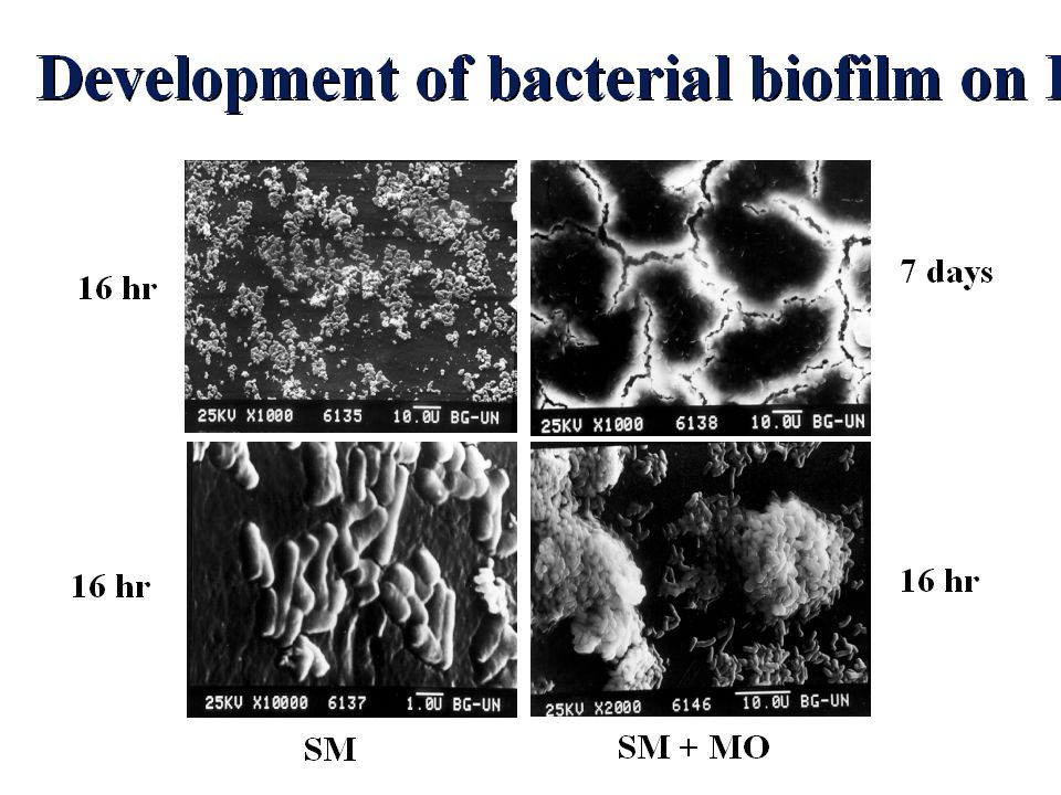 Here you can see several stages in biofilm formation as affected by MO