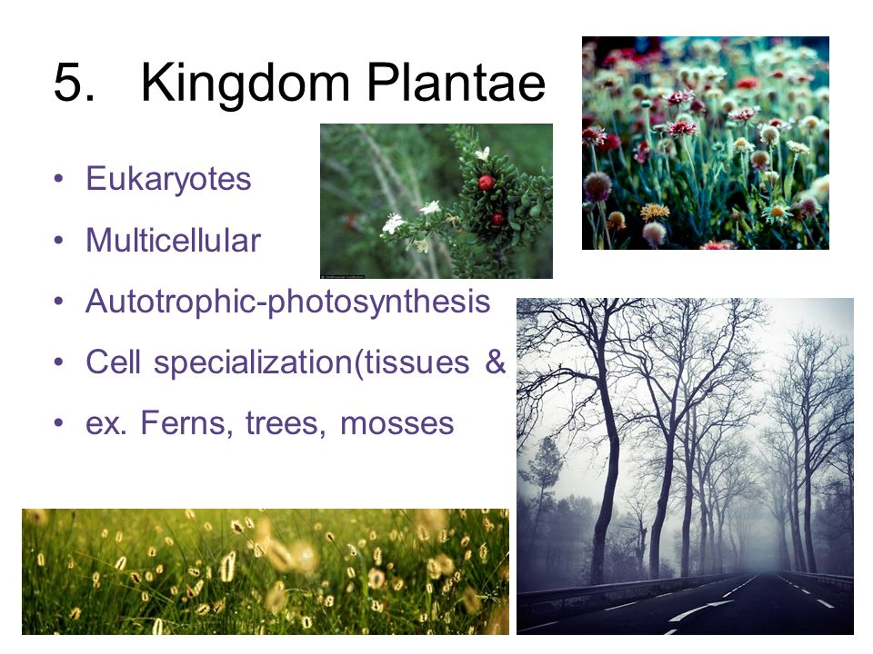 5. Kingdom Plantae Eukaryotes Multicellular Autotrophic-photosynthesis