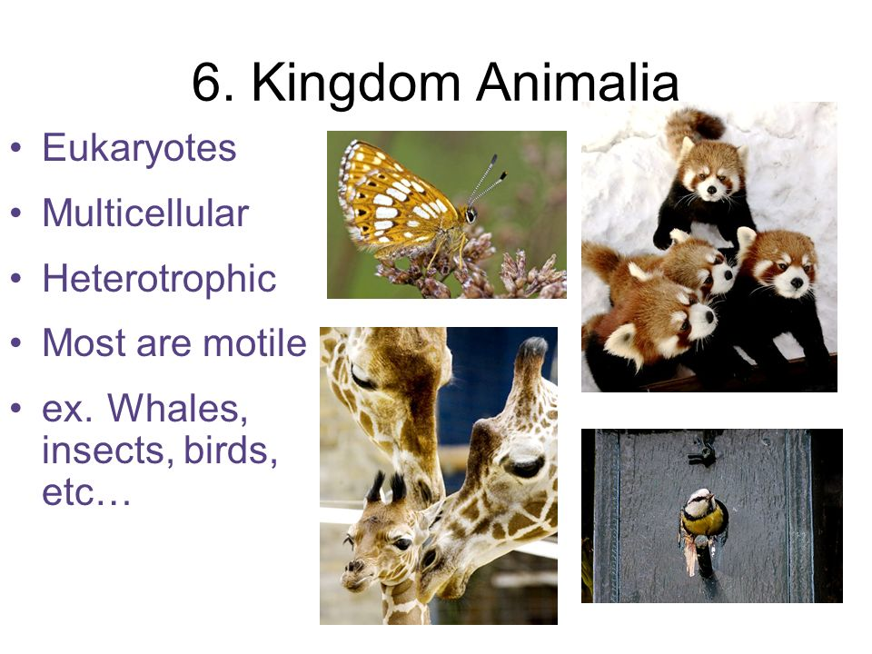 6. Kingdom Animalia Eukaryotes Multicellular Heterotrophic