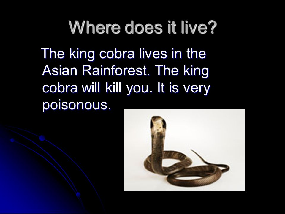 Where does it live. The king cobra lives in the Asian Rainforest.