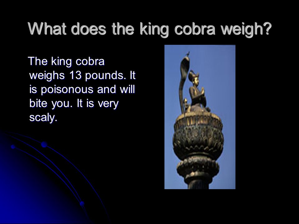 What does the king cobra weigh