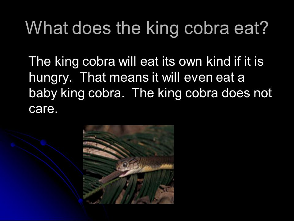 What does the king cobra eat