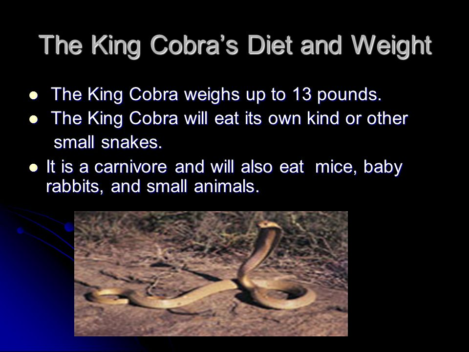 The King Cobra's Diet and Weight