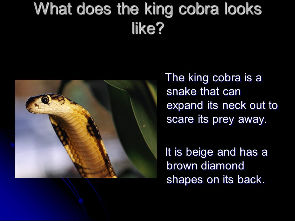 What does the king cobra looks like