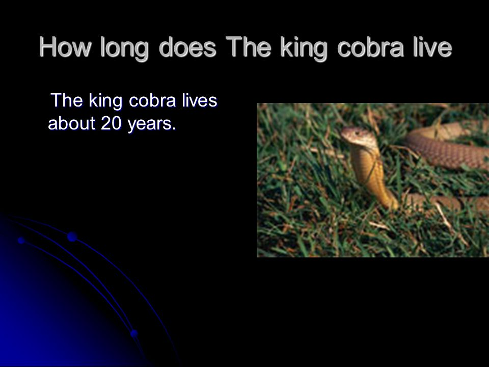 How long does The king cobra live