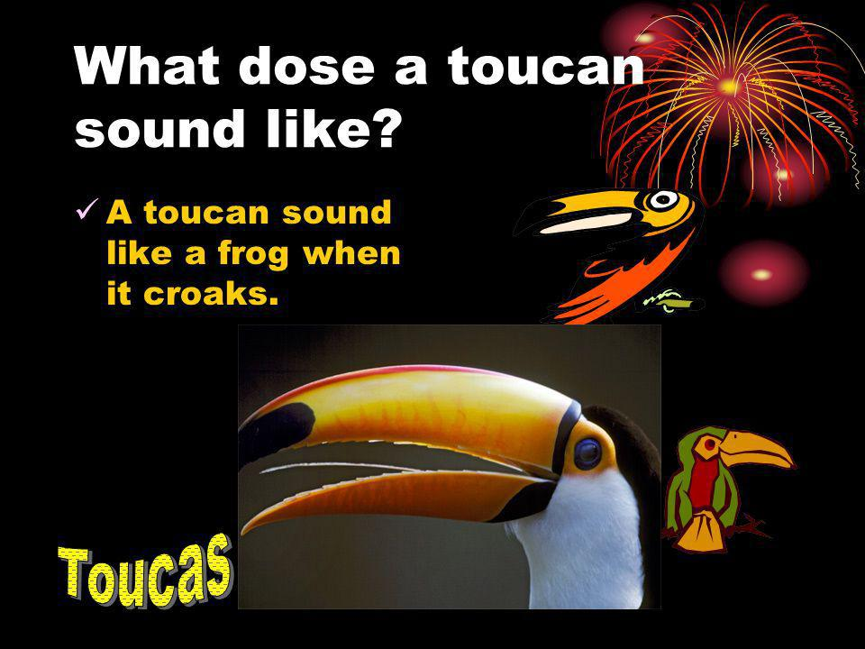 What dose a toucan sound like