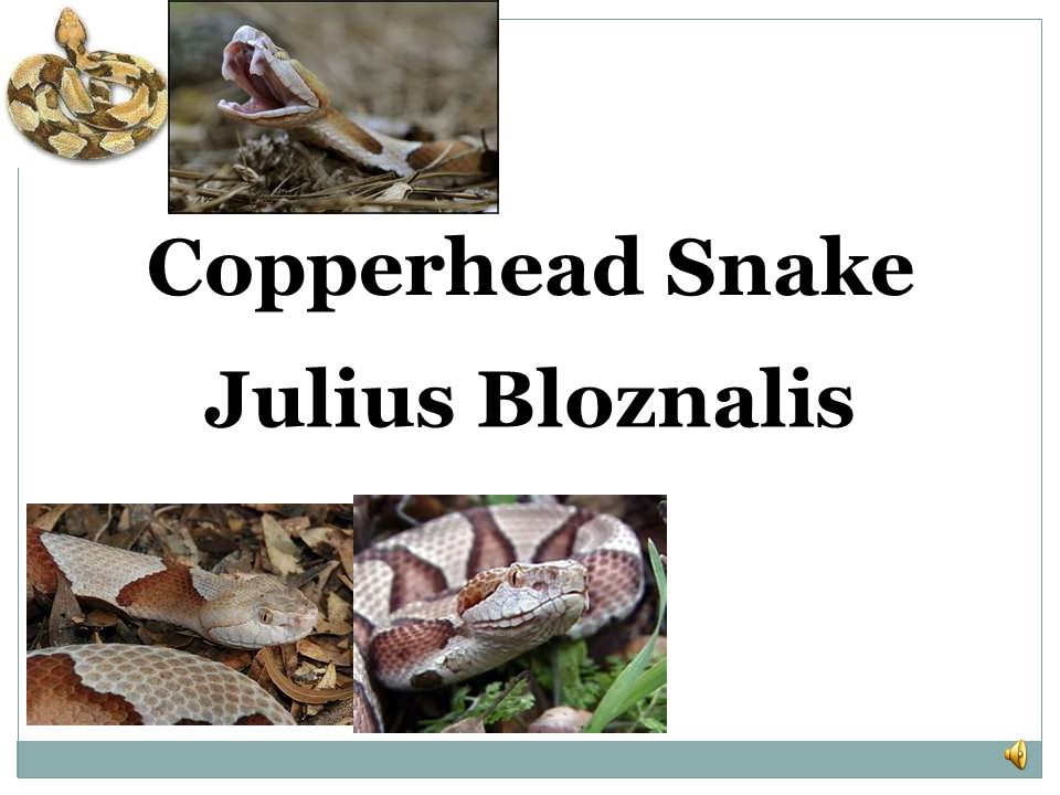 Copperhead Snake Julius Bloznalis