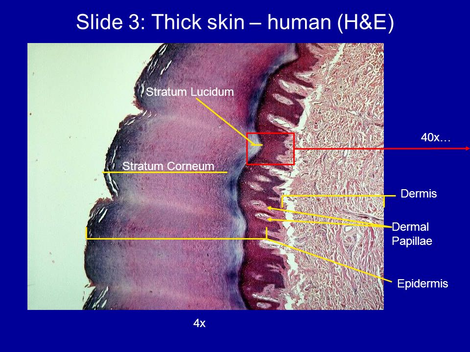 Anatomy 812 Lab Session 10 Integumentary System Sept 8 Ppt Video