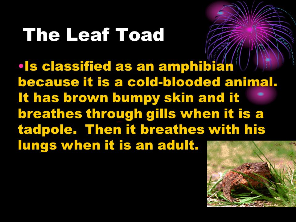 The Leaf Toad