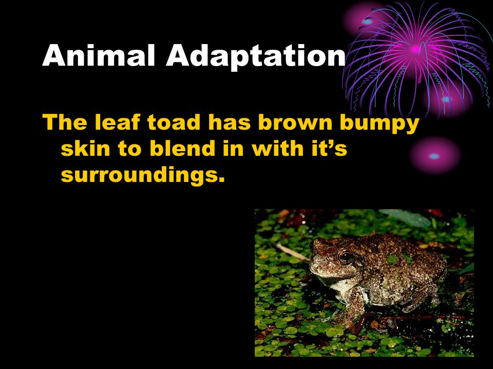 Animal Adaptation The leaf toad has brown bumpy skin to blend in with it's surroundings.