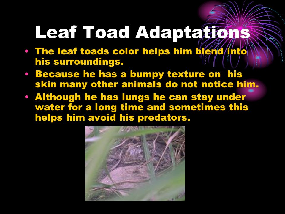 Leaf Toad Adaptations The leaf toads color helps him blend into his surroundings.