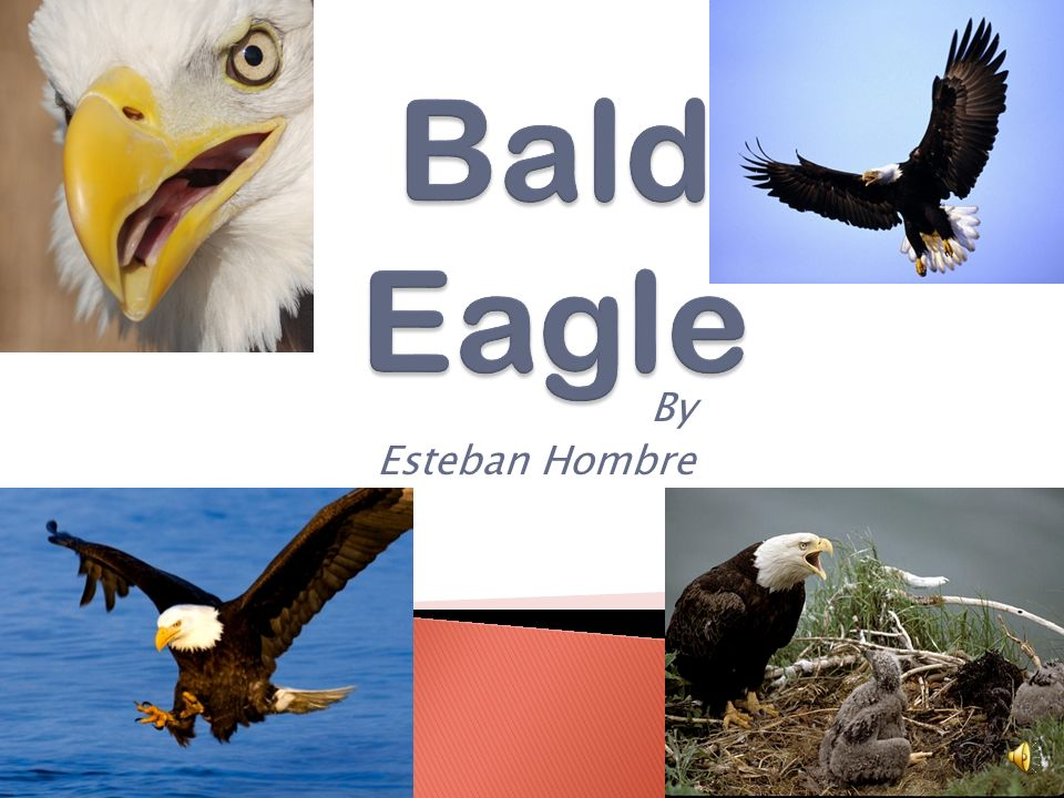 Bald Eagle By Esteban Hombre