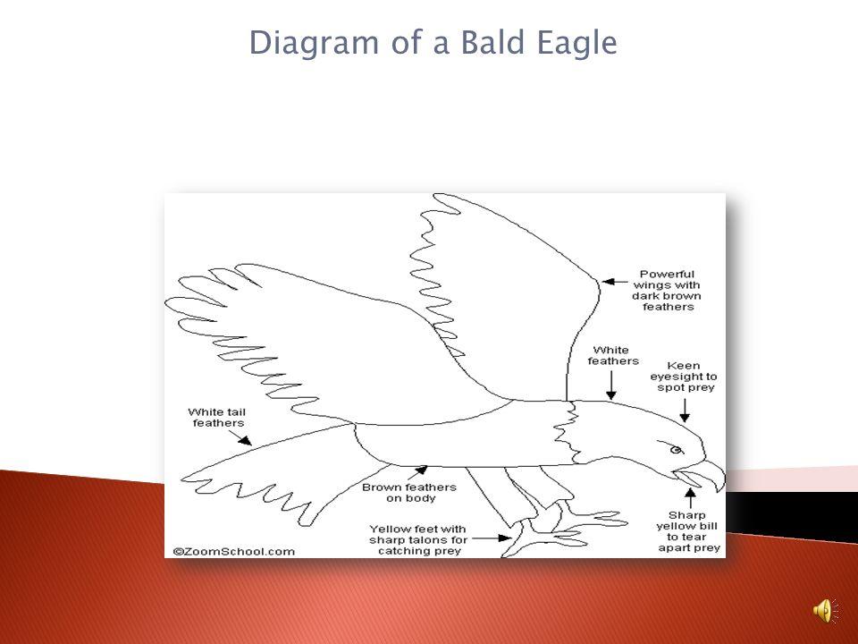 Diagram of a Bald Eagle